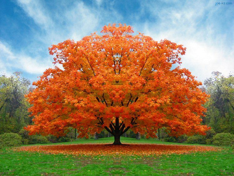 Autumn giant tree